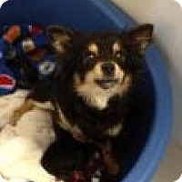Adopt A Pet :: Sweet Pea - Shawnee Mission, KS