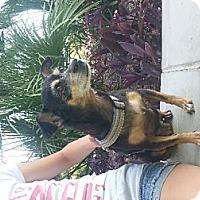 Adopt A Pet :: Tink - Phoenix, AZ