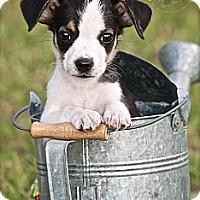 Adopt A Pet :: Little Ricky - Albany, NY