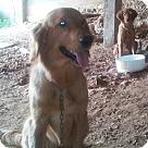 Adopt A Pet :: Golden Retriever