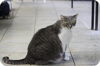 Domestic Shorthair Cat for adoption in East Smithfield, Pennsylvania - Maude