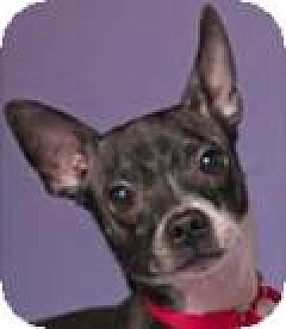Rat Terrier Mix Dog for adoption in Chicago, Illinois - Doug