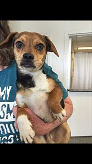 Hound (Unknown Type) Mix Dog for adoption in Fresno, California - Burt