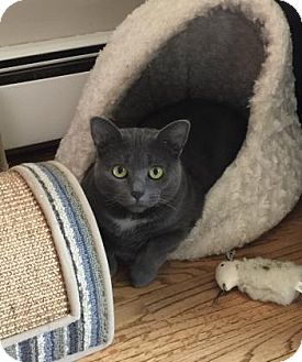 Domestic Shorthair Cat for adoption in New York, New York - Foggy
