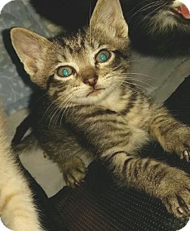 Domestic Shorthair Kitten for adoption in Herndon, Virginia - Chili Bean