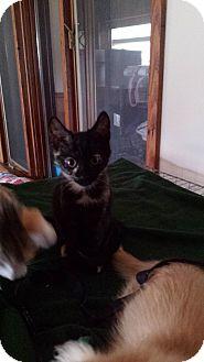 Domestic Shorthair Kitten for adoption in Salem, Ohio - aggie