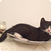 Adopt A Pet :: Purrfect Kittens Bounce and Scamper - Brooklyn, NY