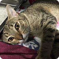 Adopt A Pet :: Cersei-PetValu Voorhees - Voorhees, NJ