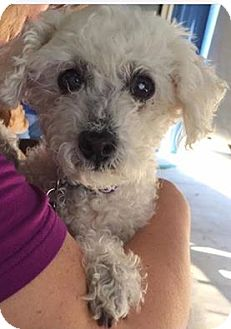 Poodle (Miniature) Mix Dog for adoption in Las Vegas, Nevada - Juliet