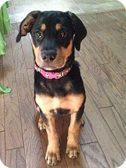 Rottweiler/Labrador Retriever Mix Puppy for adoption in Grafton, Wisconsin - JoJo