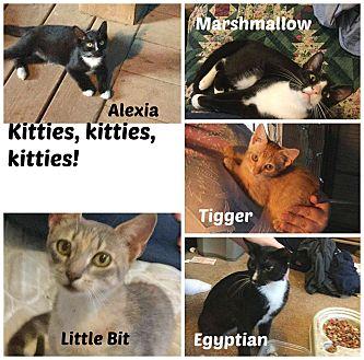 American Shorthair Cat for adoption in Malvern, Arkansas - kitties