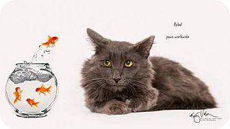 Russian Blue Cat for adoption in Westlake, California - REBEL