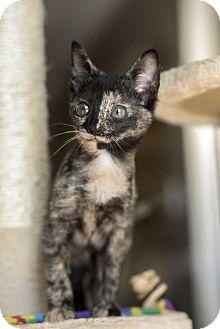 Domestic Mediumhair Kitten for adoption in Dallas, Texas - Ronnie