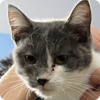 Domestic Shorthair Kitten for adoption in Grinnell, Iowa - Billie