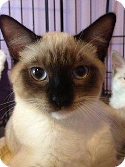 Tonkinese Kitten for adoption in Monroe, Georgia - Toley