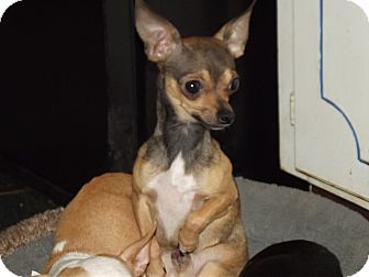 Chihuahua Mix Dog for adoption in Hollis, Maine - Charlie