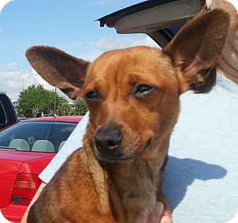 Miniature Pinscher/Chihuahua Mix Dog for adoption in Orlando, Florida - Trixie Chi