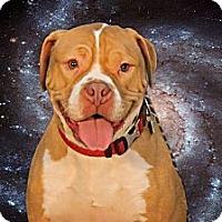 Adopt A Pet :: Thor-Thor - Adoption Pending - Livonia, MI