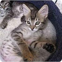 Adopt A Pet :: Stumpy - Davis, CA