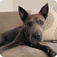 Adopt A Pet :: Talulah Blue - Scottsdale, AZ