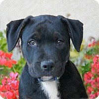 Adopt A Pet :: Theodore - Thousand Oaks, CA