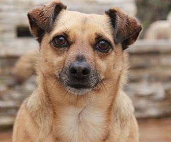 Terrier (Unknown Type, Medium)/Chihuahua Mix Dog for adoption in El Segundo, California - Hooper