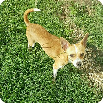 Chihuahua Mix Dog for adoption in Cranston, Rhode Island - BAILEY