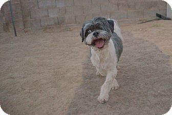 Shih Tzu Dog for adoption in Las Vegas, Nevada - Max