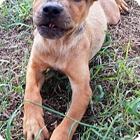 Terrier (Unknown Type, Small) Mix Puppy for adoption in Terrell, Texas - Brownie
