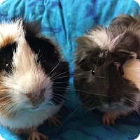 Guinea Pig for adoption in Steger, Illinois - Bandit