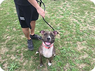 American Staffordshire Terrier/Terrier (Unknown Type, Medium) Mix Dog for adoption in Lake Grove, New York - Layla