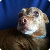 Chihuahua Mix Dog for adoption in Clayton, California - Graham