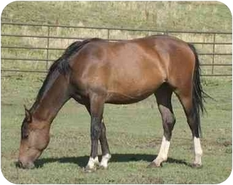 Quarterhorse Mix for adoption in Bayfield, Colorado - Jilly