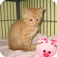 Domestic Shorthair Kitten for adoption in Shelton, Washington - Laramie
