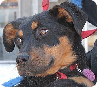 Spaniel (Unknown Type)/Hound (Unknown Type) Mix Dog for adoption in Rigaud, Quebec - Duchess