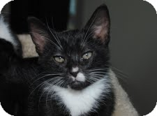 American Shorthair Kitten for adoption in Waxhaw, North Carolina - Sam