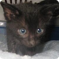Adopt A Pet :: Harry No-Tail - Dallas, TX