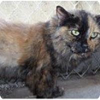 Adopt A Pet :: Calico - El Cajon, CA