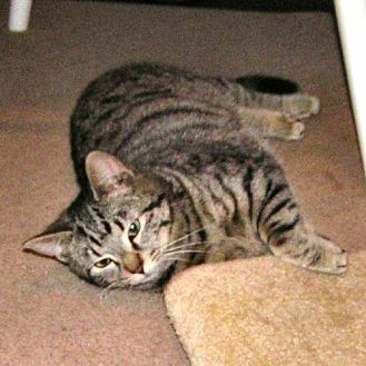 Domestic Shorthair Cat for adoption in Sidney, Maine - Bella3
