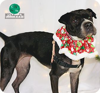 Lafayette in shar pei boxer mix meet bella a dog for adoption