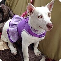 Adopt A Pet :: Corgi - Pompton lakes, NJ