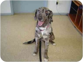Catahoula Leopard Dog/Labrador Retriever Mix Dog for adoption in Mesa, Arizona - Loni