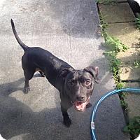 Adopt A Pet :: Reggie - Newtown, CT