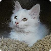 Adopt A Pet :: Chagall - Davis, CA