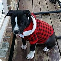 Adopt A Pet :: Vader - Belleville, MI