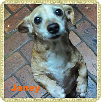 Dachshund/Beagle Mix Dog for adoption in Green Cove Springs, Florida - Janey