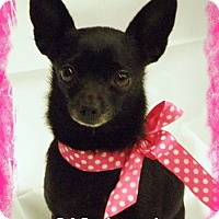 Chihuahua Dog for adoption in Anaheim Hills, California - Wednesday