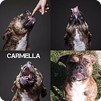 American Staffordshire Terrier/American Pit Bull Terrier Mix Dog for adoption in Grafton, Ohio - Carmella