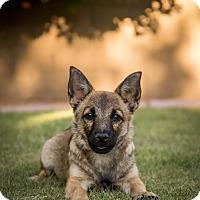 Adopt A Pet :: Tonga - Phoenix, AZ