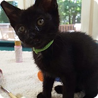 Domestic Shorthair Kitten for adoption in Burlington, North Carolina - REMBRANDT